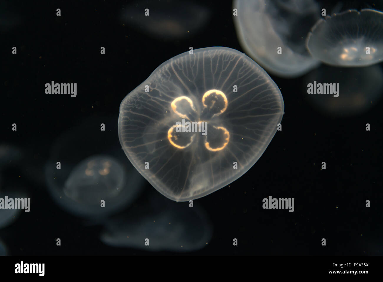 Jellyfish or Rhizostoma pulmo floating in aquarium - Stock Image