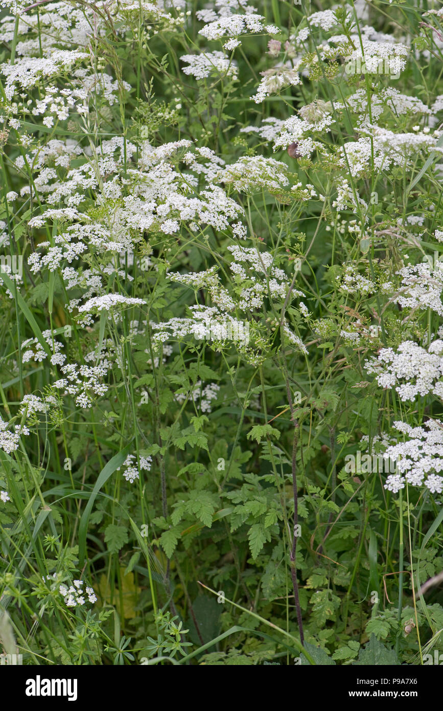 Rough chervil, Chaerophyllim  temulum, flowering and seeding in a grass verge in early summer, Berkshire, June - Stock Image