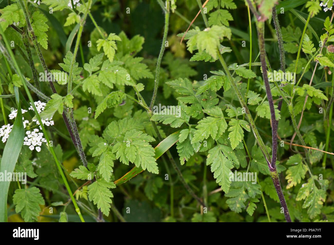 Rough chervil, Chaerophyllim  temulum, leaves and rough hairy purple stems, Berkshire, June - Stock Image
