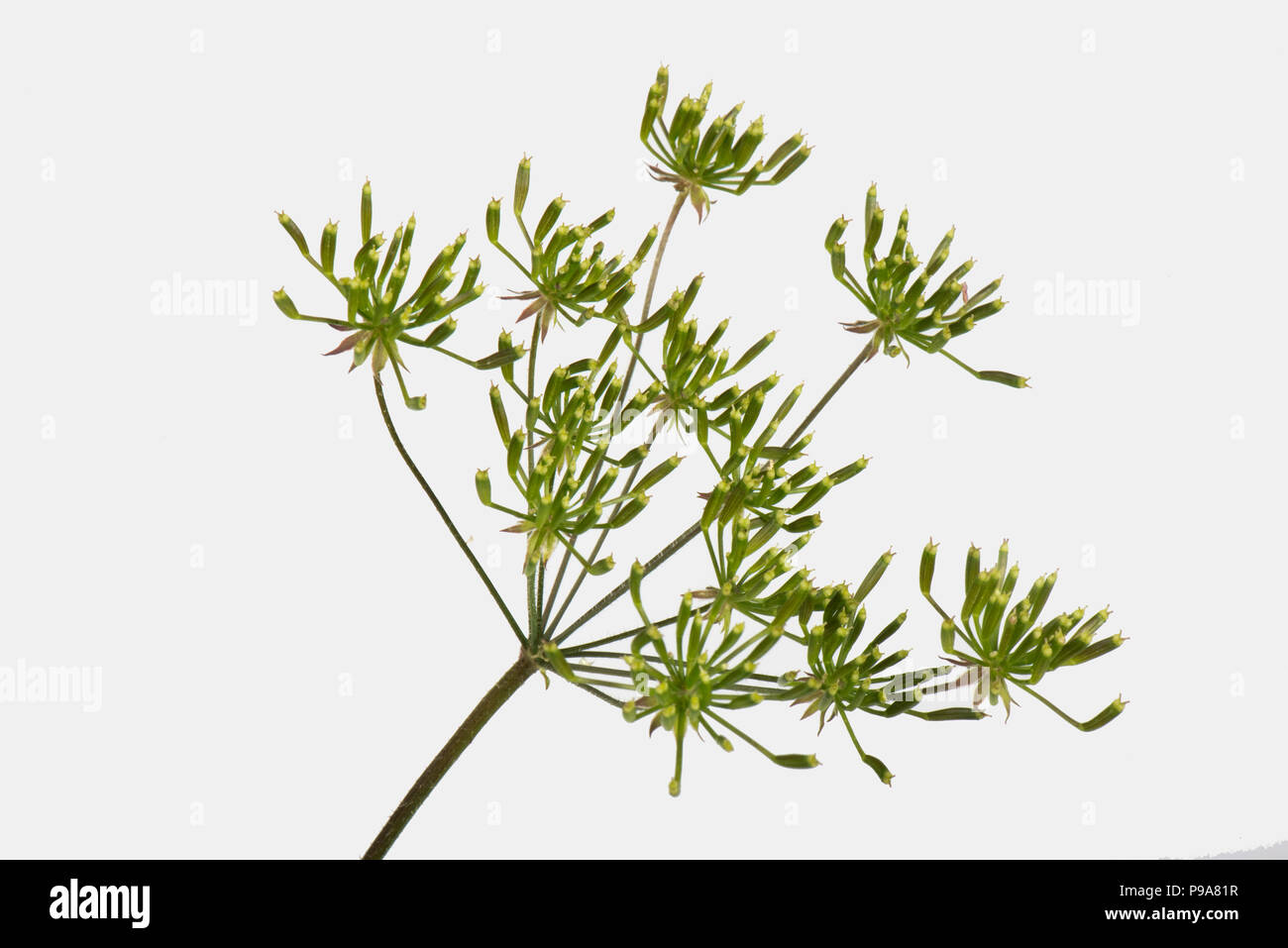 Rough chervil, Chaerophyllim  temulum, hispid seeding, ripening umbel, Berkshire, June - Stock Image