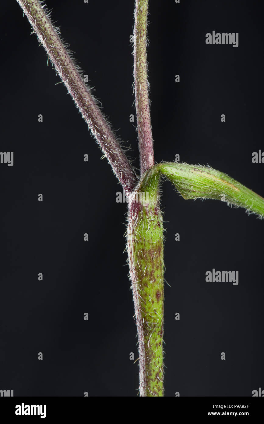 Rough chervil, Chaerophyllim  temulum, hairy rough purple spotted stems, Berkshire, June - Stock Image