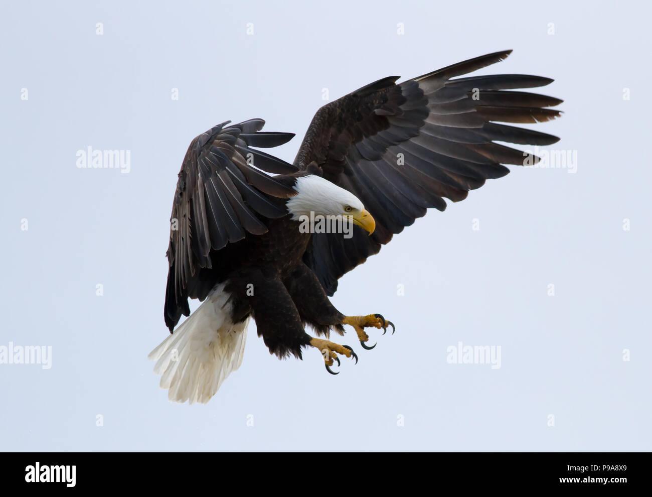 American Bald Eagle Bird Wings Open Lands in Nest Wall Picture Black Framed