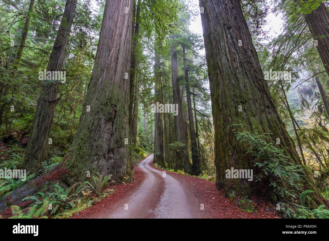 Giant Coastal Redwoods at Jediah Smith State Park in California - Stock Image