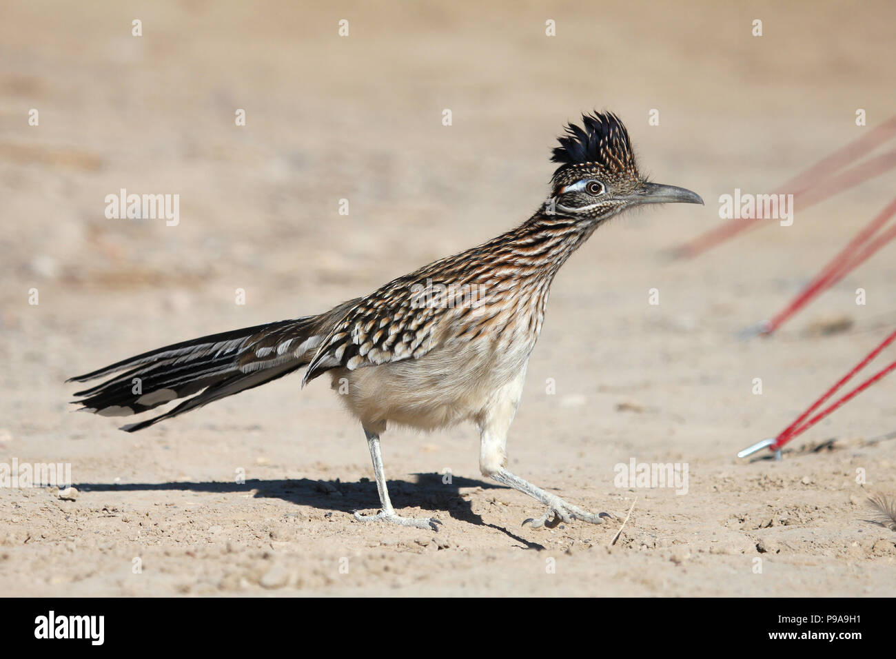 A Roadrunner making its way through a campsite in the furnace creek area of Death Valley National Park - Stock Image