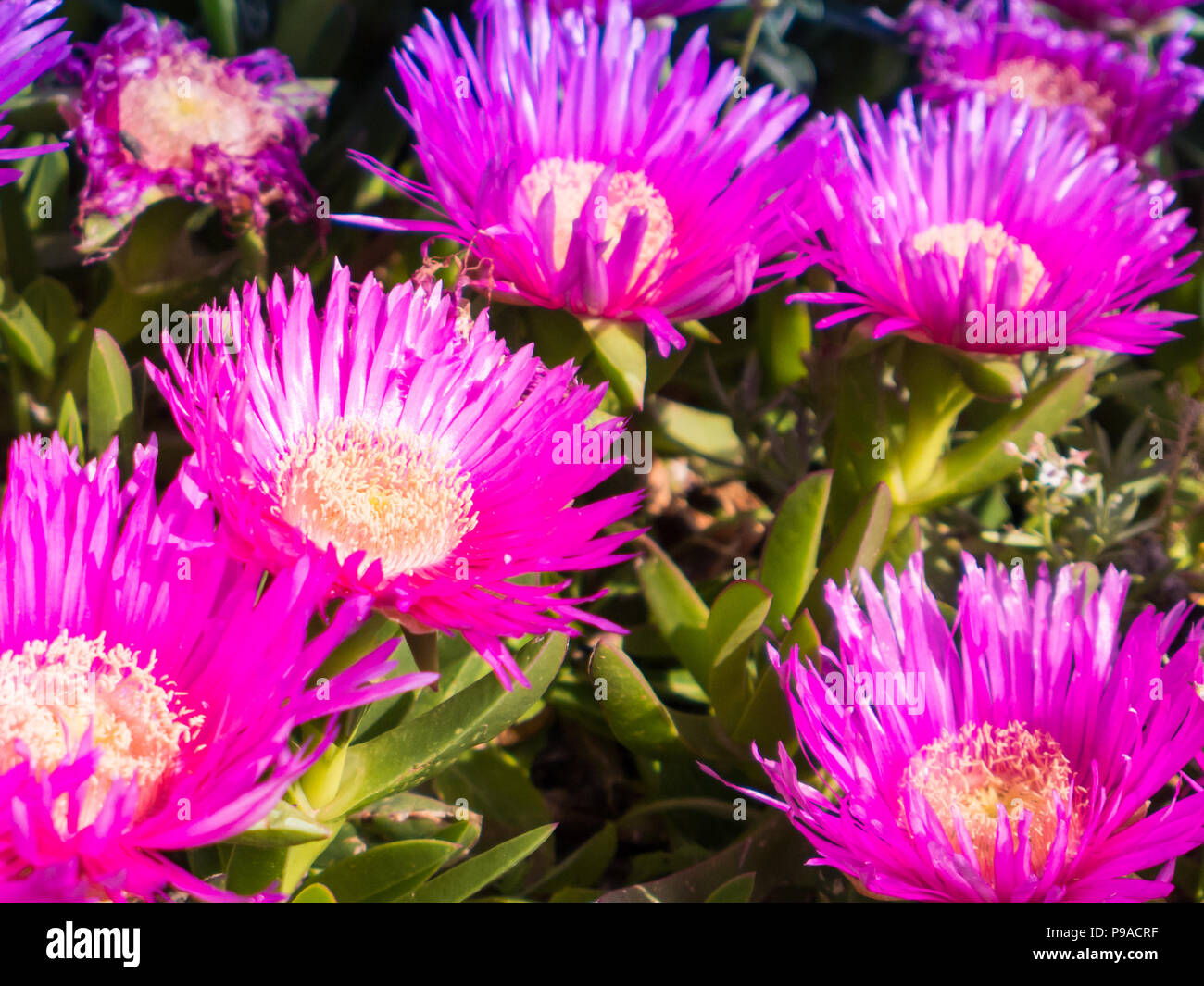 Large daisy like flowers stock photos large daisy like flowers carpobrotus is a genus of ground creeping plants with succulent leaves and large daisy izmirmasajfo