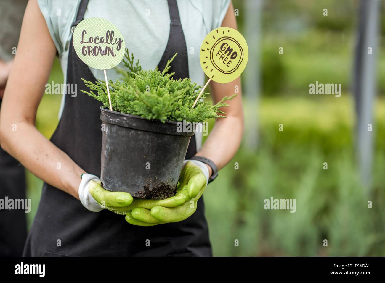 Holding conifer bush - Stock Image