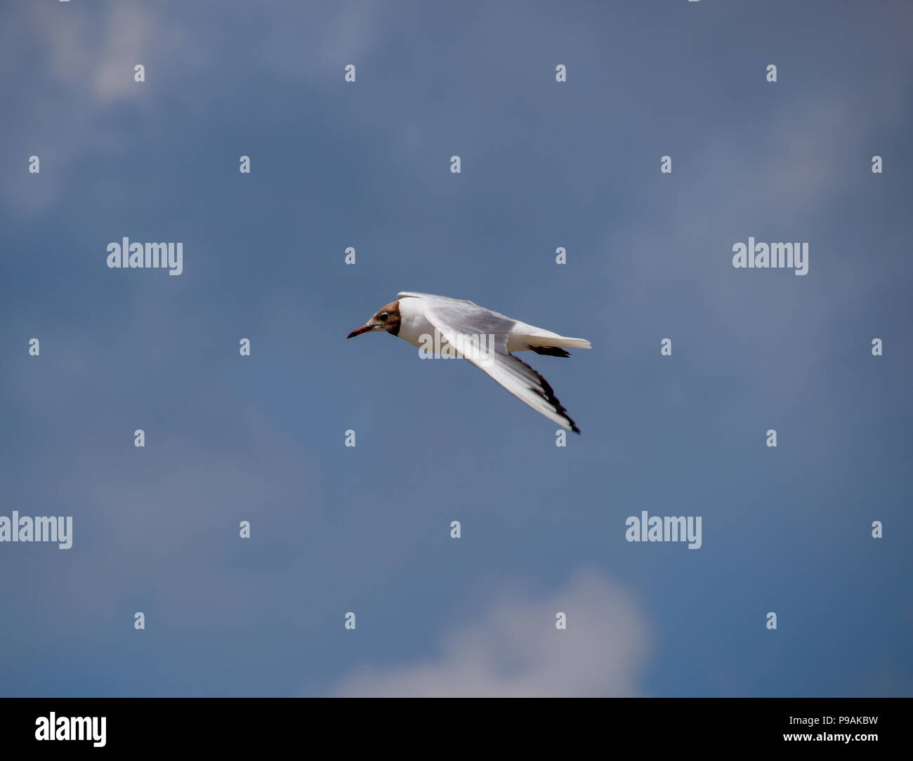 df79fbe6 Sea gull flying in the sky. Seagull ordinary - Stock Image