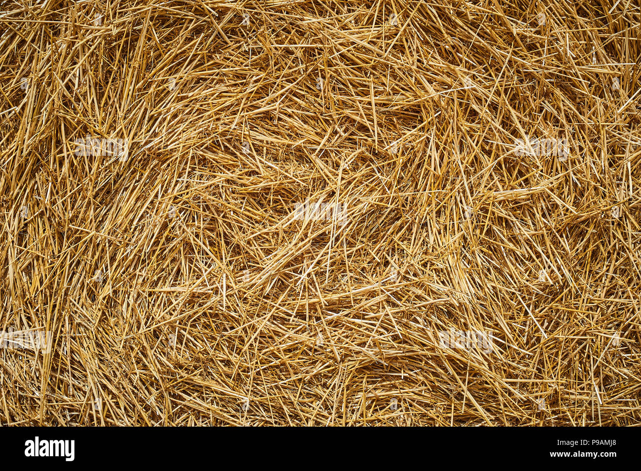 Dry golden yellow straw grass background texture after havesting. Close up - Stock Image