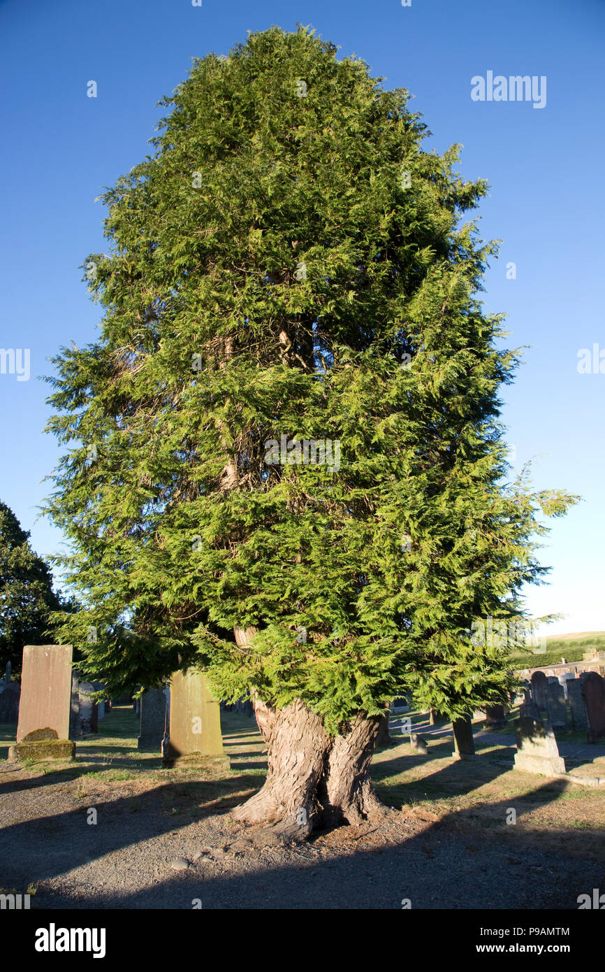Old yew tree Kirkpatrick church Irongray Kirkcudbright Castle Douglas Dumfries and Galloway Scotland - Stock Image