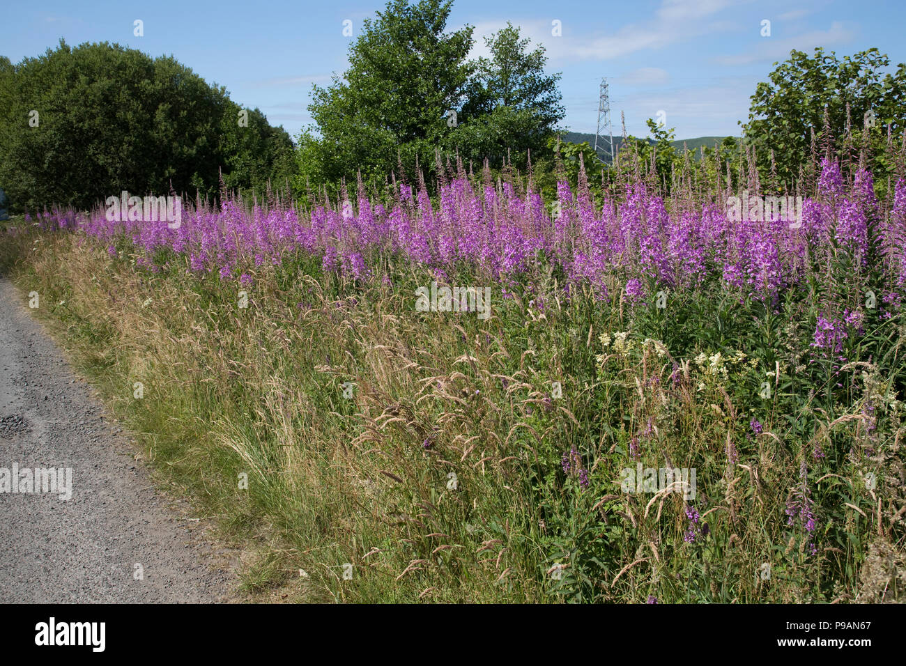 Large banks of Rosebay willowherb or fireweed Chamaenerion angustifolium uncut flowering on roadside verge Scotland UK Stock Photo