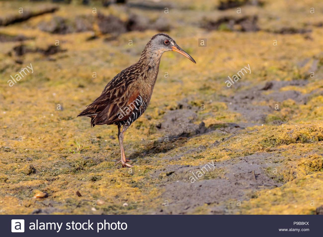 Rallus limicola Virginia rail at freshwater marsh - Stock Image