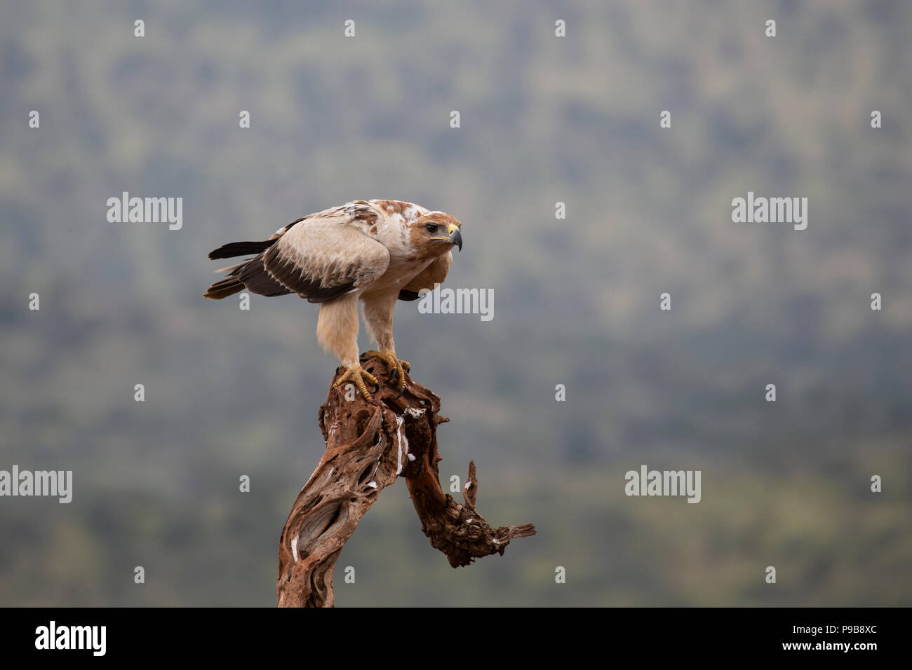 Tawny Eagle Aquila rapax poised on the top of an old tree prior to hunting - Stock Image