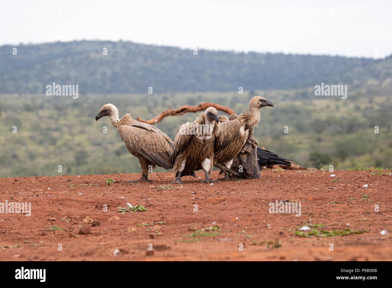 Three white backed vultures Gyps africanus on the ground at a scavenging site on a private game reserve in South Africa - Stock Image