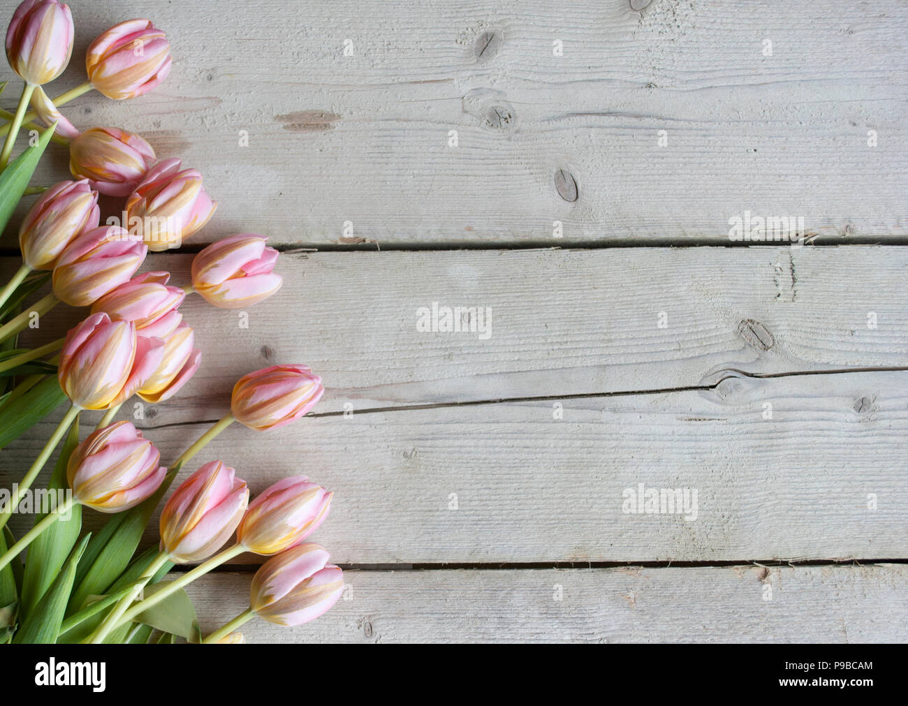 pink Dutch blooming tulips on weathered barn wood background Stock Photo