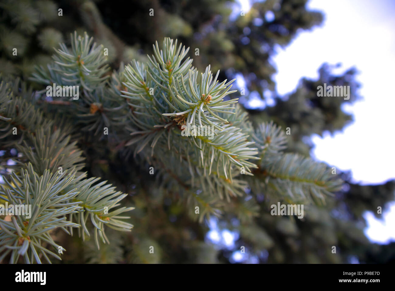 Branch of blue fir with fresh young spruces, bottom view - Stock Image