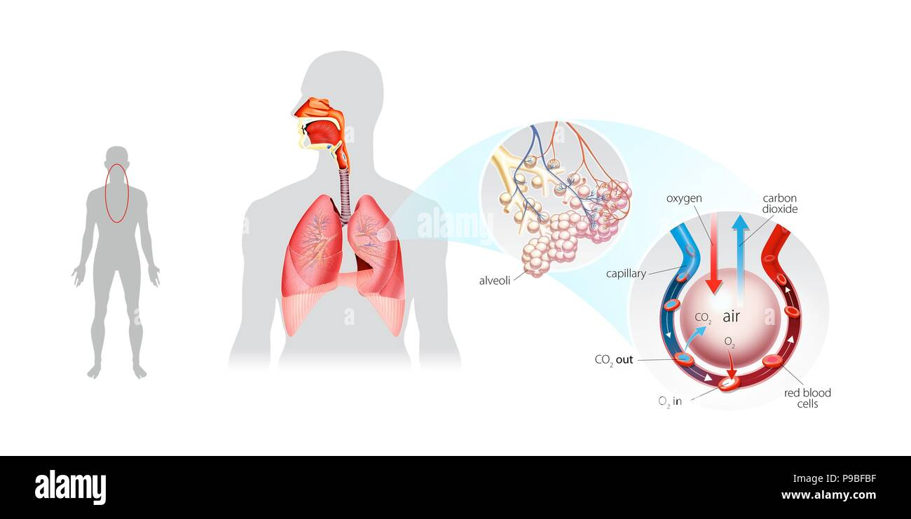 Pulmonary ventilation gas exchange stock photo 212309875 alamy pulmonary ventilation gas exchange ccuart