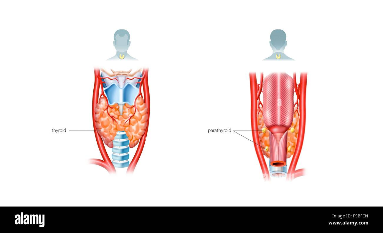 Thyroid And Parathyroid Glands Stock Photo 212309909 Alamy