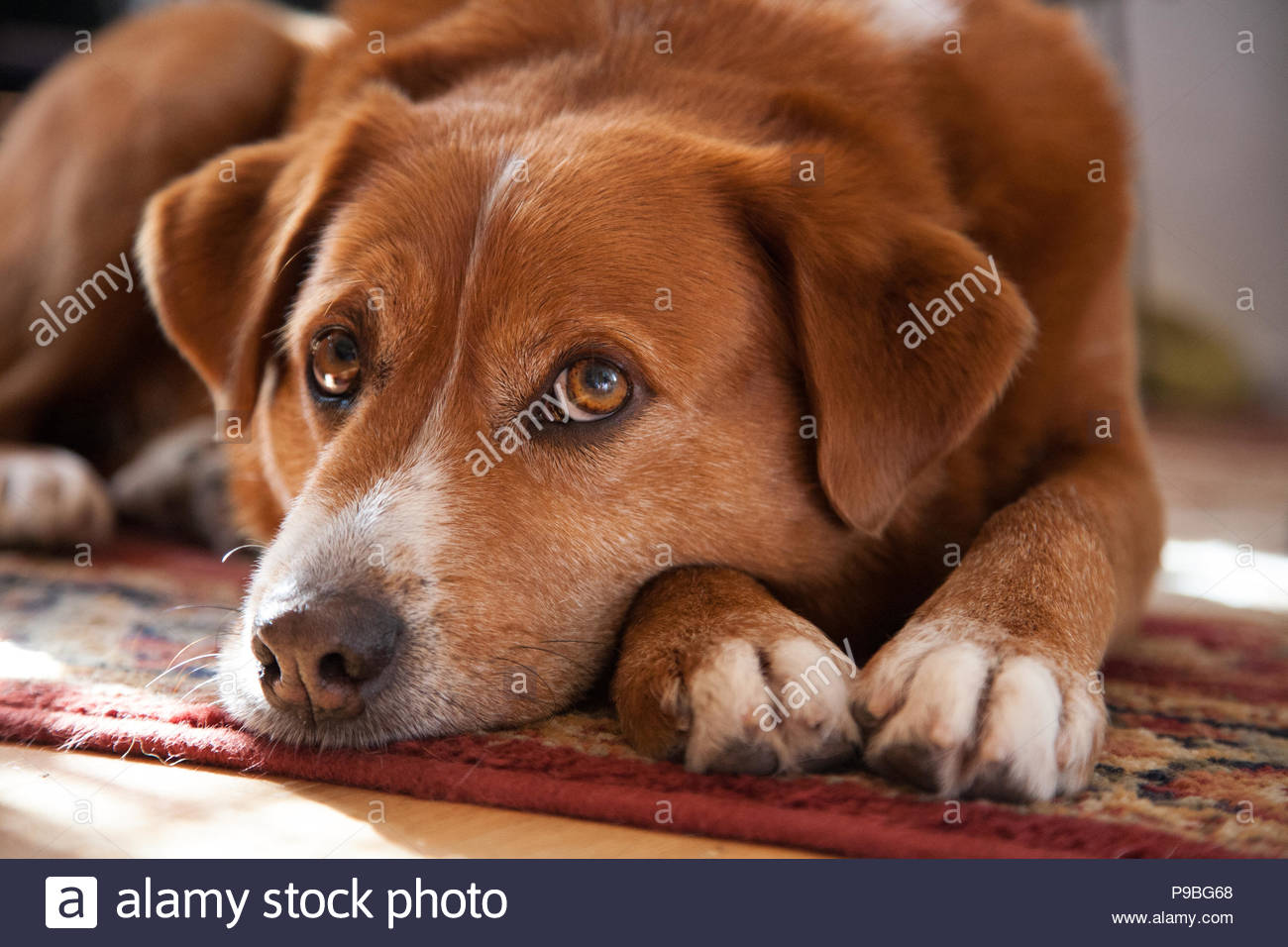 Close-up of sad looking brown-eyed hound mix dog lying on red carpet and resting head on paws - Stock Image