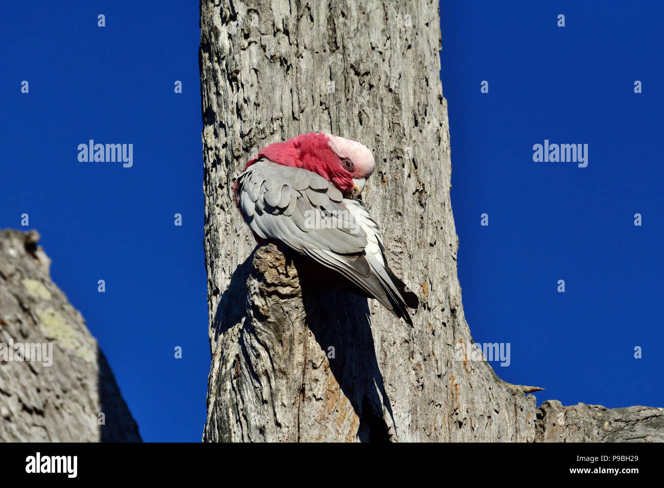An Australian, Queensland Nominate race Galah ( Cacatua roseicapilla ) perched on the side of a dead tree trunk preening itself - Stock Image