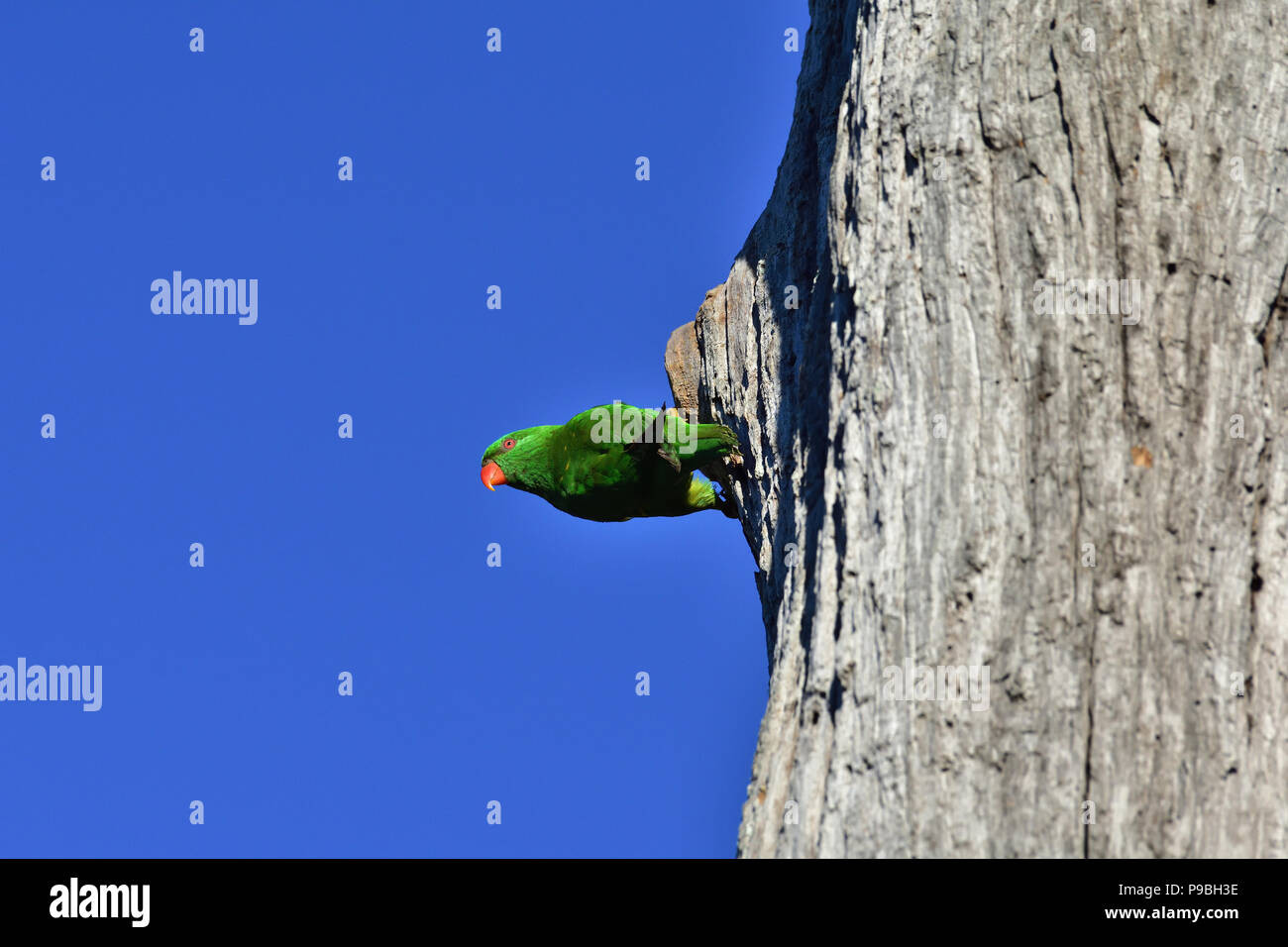 An Australian, Queensland Scaly-breasted Lorikeet ( Trichoglossus chlorolepidotus ) hanging out horizontally from the side of a dead tree trunk - Stock Image
