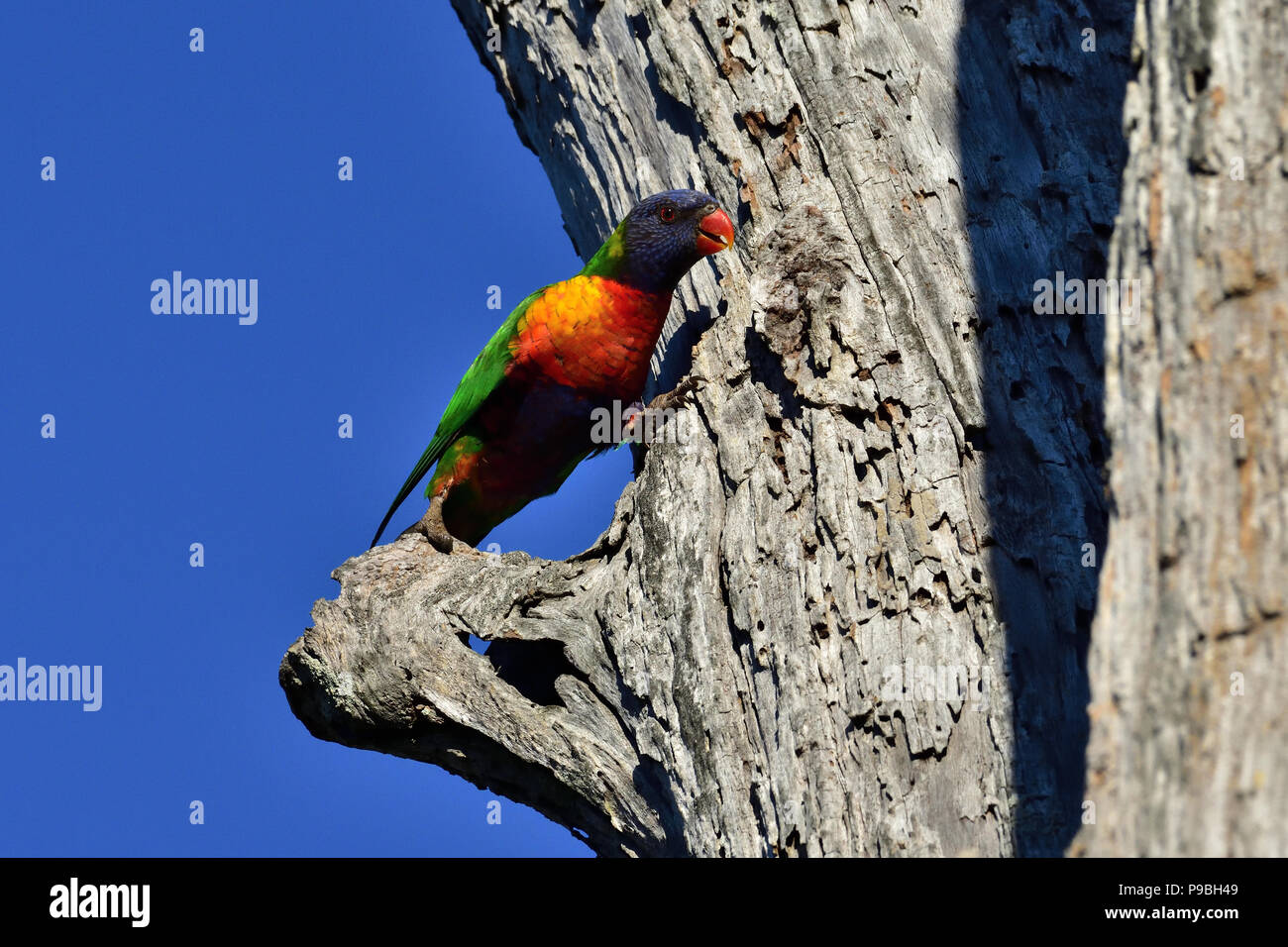 An Australian, Queensland Rainbow Lorikeet ( Trichoglossus haematodus ) perched on the side of a dead tree trunk with its legs spread - Stock Image