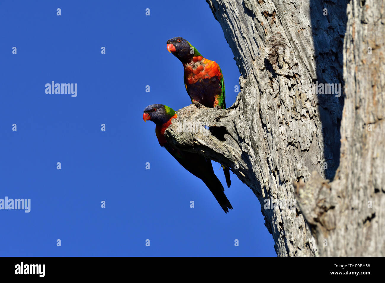 Australian, Queensland Rainbow Lorikeets ( Trichoglossus haematodus ) perched on the side of a dead tree trunk Stock Photo