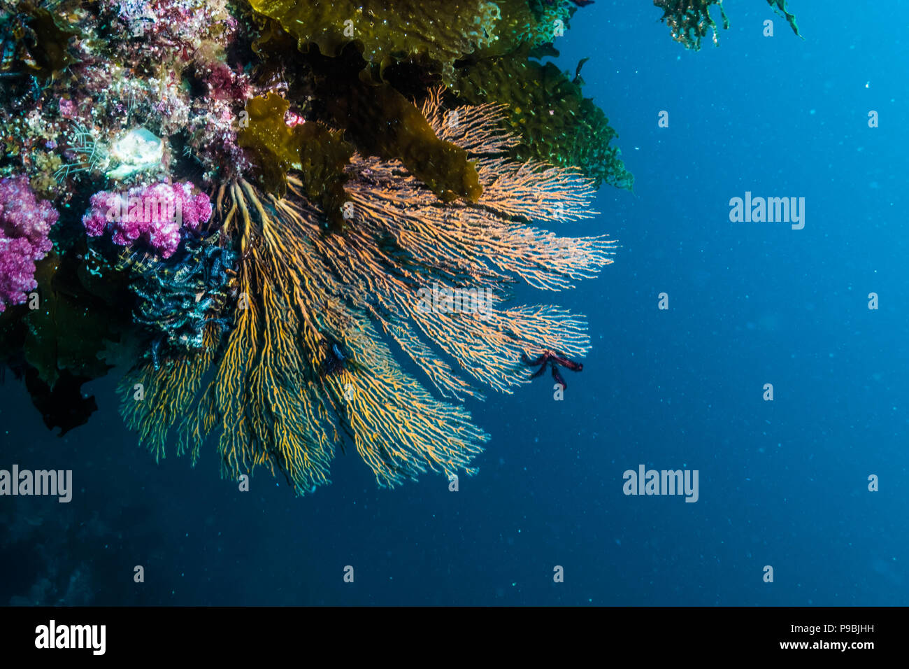 A sea fans at the adge of rocky reef. -18m. Owase, Mie, Japan - Stock Image