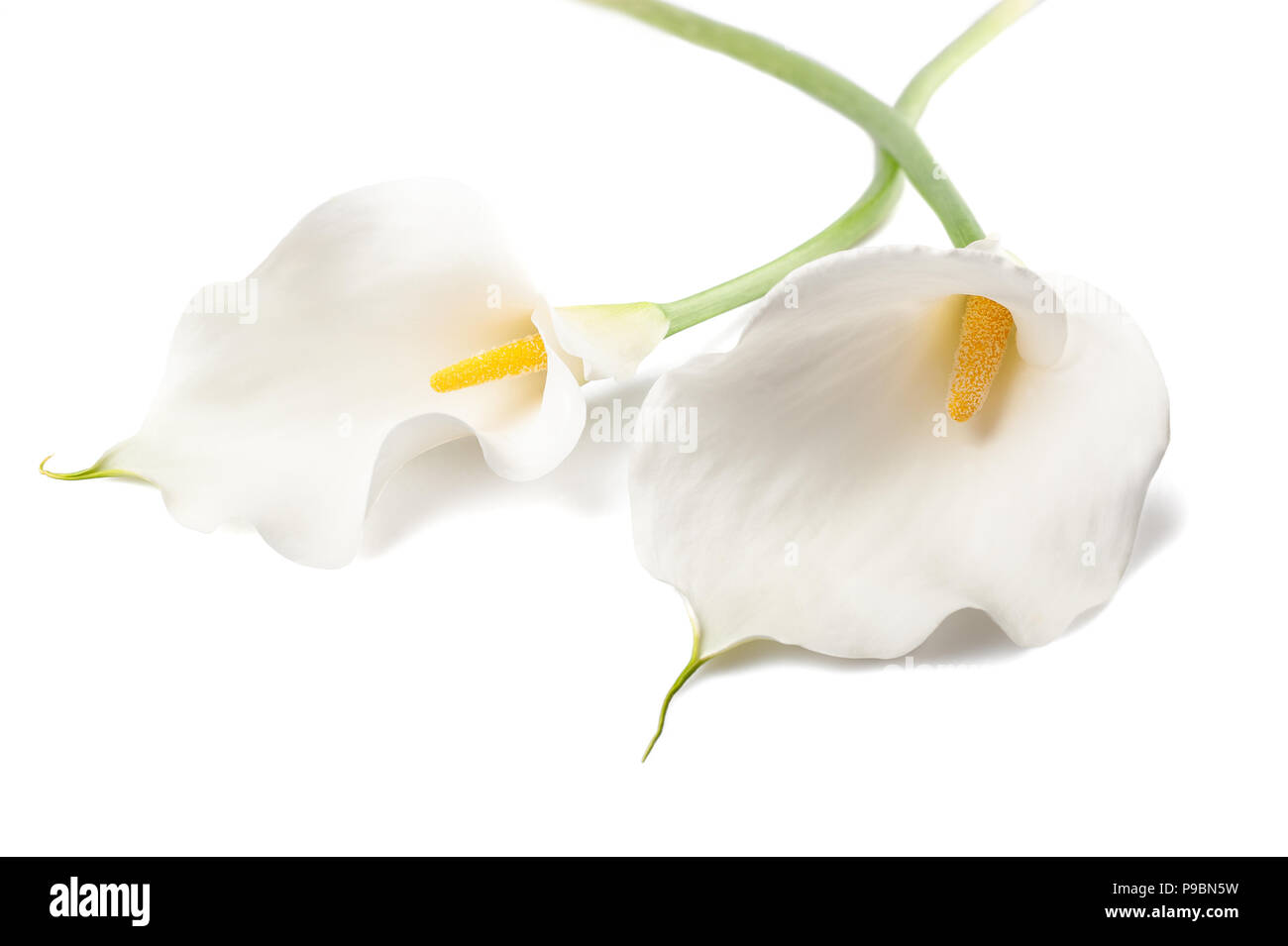 White calla lillies, isolated on white. Bud and full-bloom - Stock Image