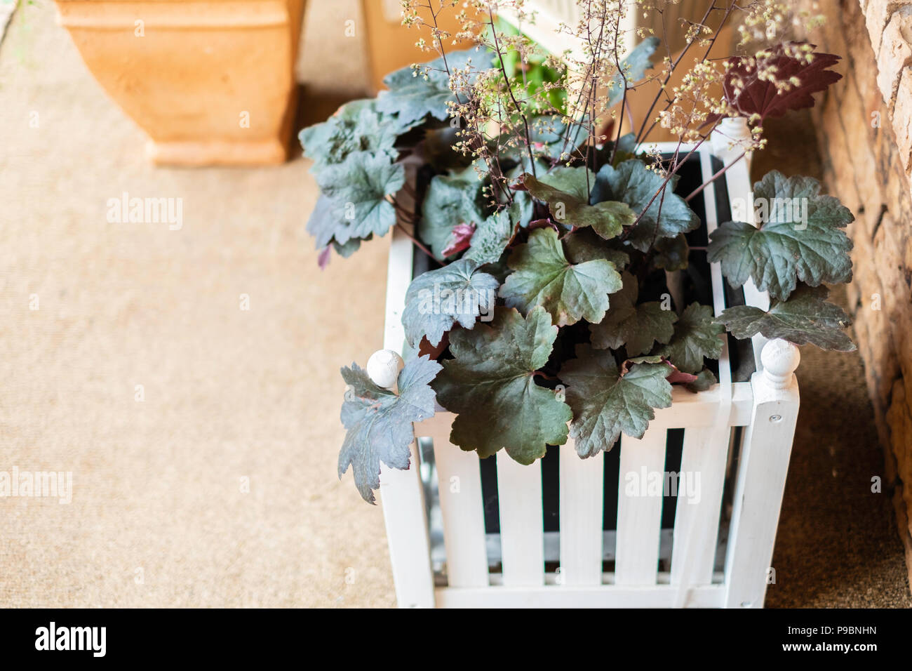 Coral Bell Plant Heuchera Hybrid With Spent Flowers In A White