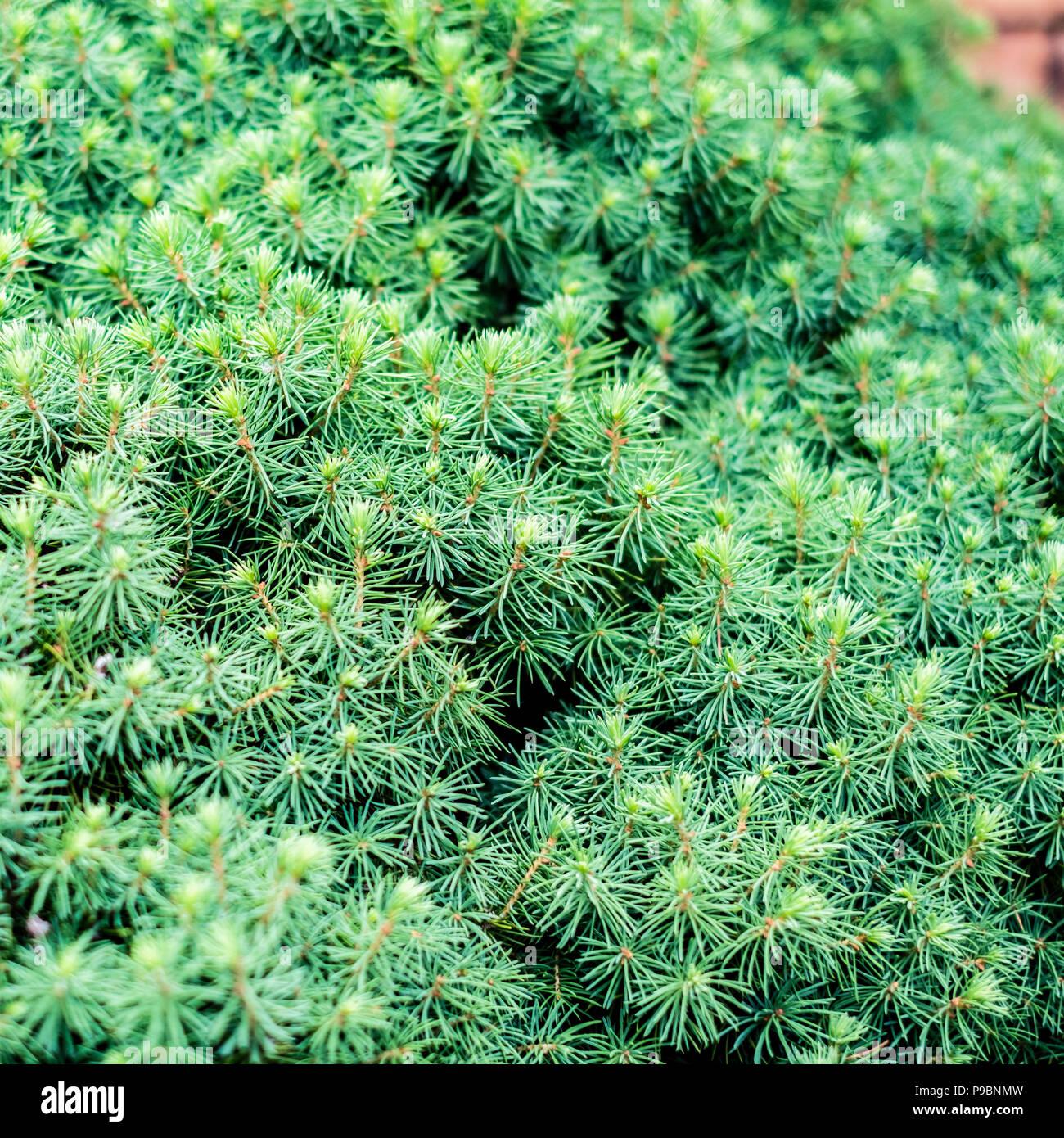 A dwarf mounding Picea, a white spruce, growing in Kansas, USA. - Stock Image