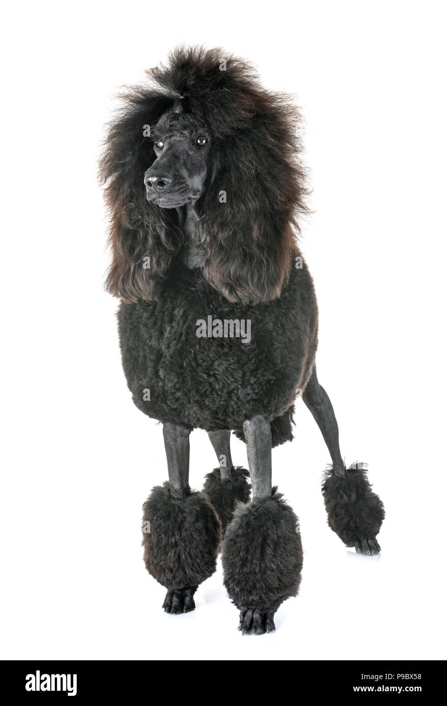 Standard Poodle Puppy Stock Photos & Standard Poodle Puppy Stock