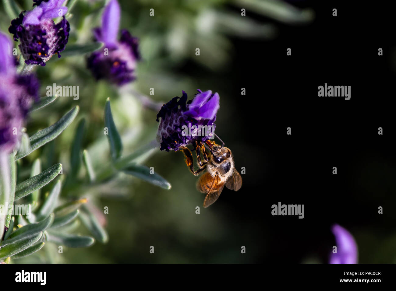 a hungry honey bee visits budding rosemary flowers in Yamashita park in Yokohama in late spring. - Stock Image