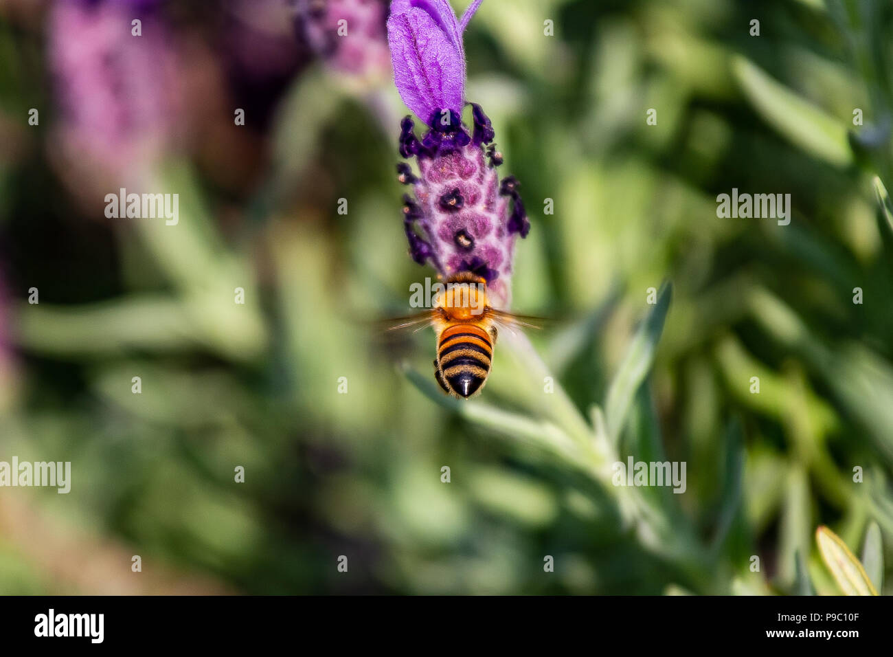 a honey bee prepares to land on a budding rosemary flowers in a park in Yokohama - Stock Image