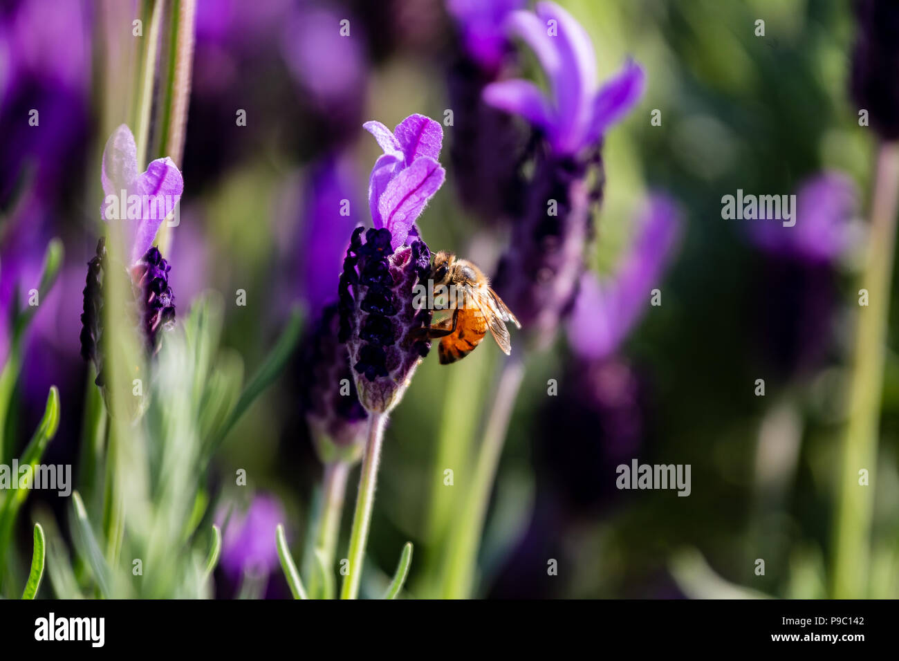 a honey bee visits budding rosemary flowers in a park in Yokohama - Stock Image