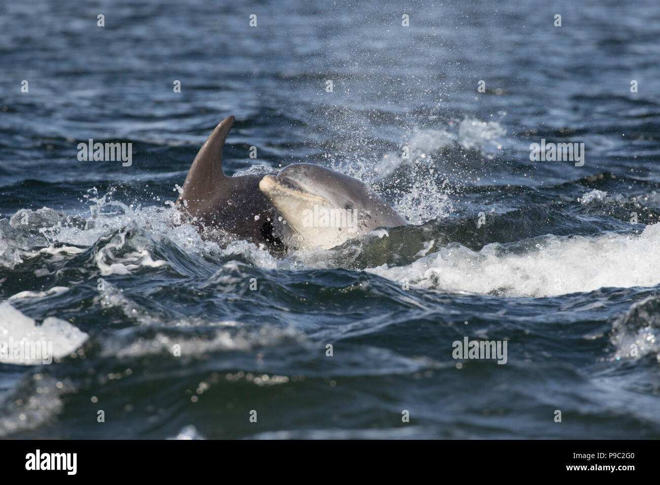 Bottlenose dolphins (Tursiops truncatus) in the Moray Firth, Chanonry Point, Black Isle, Scotland, UK, Europe - Stock Image