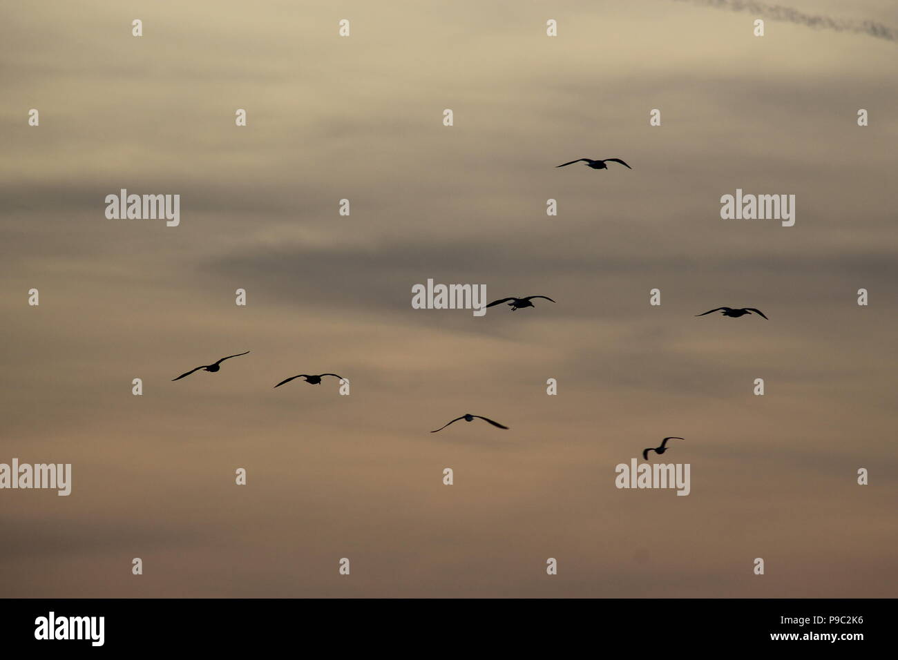 Group of seagulls - Stock Image
