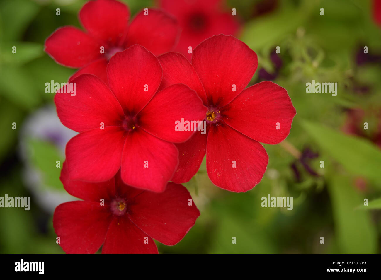 Red Phlox On Green Background - Stock Image