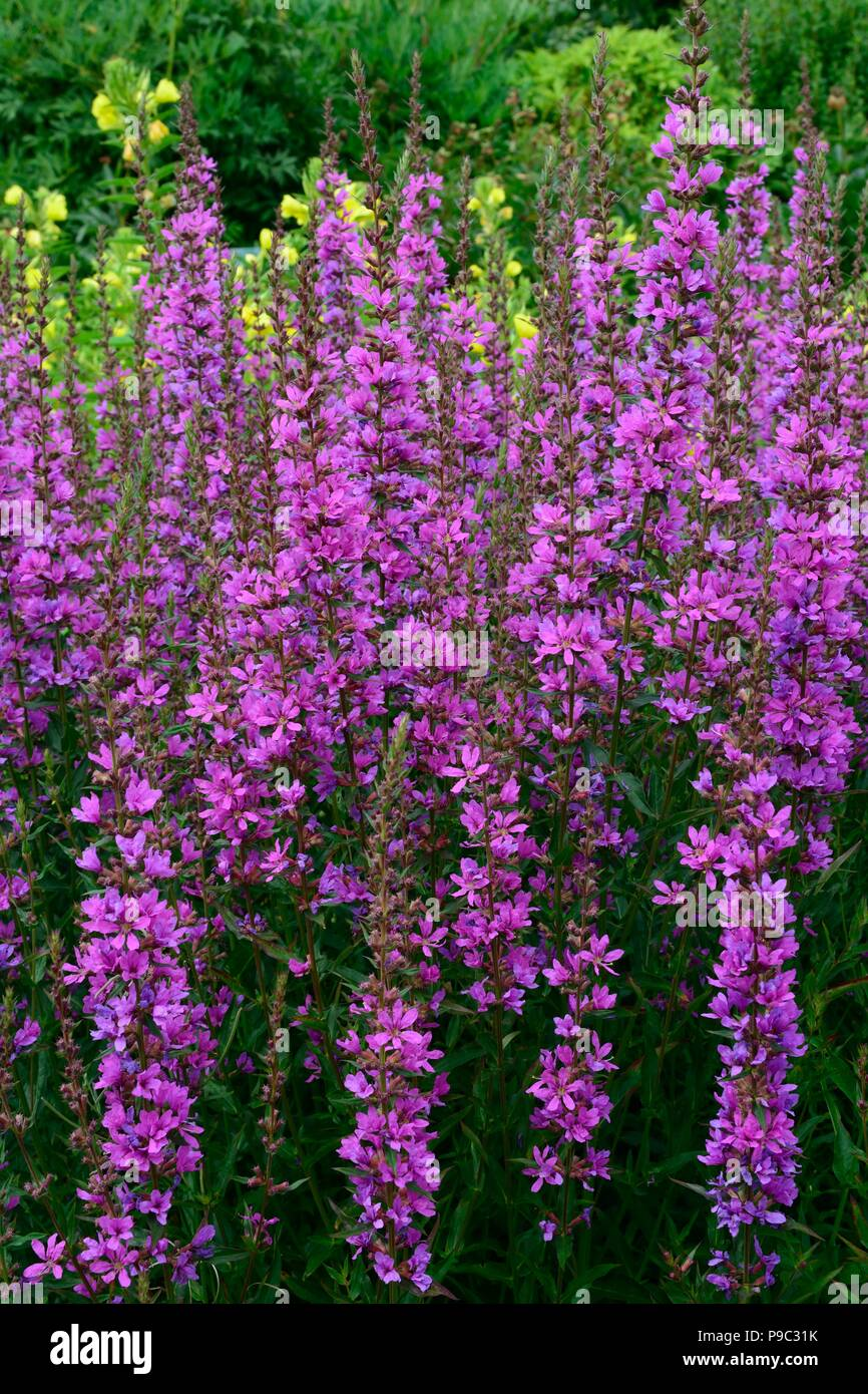 Lythrum virgatum Dropmoe Purple loosestrife  flowers - Stock Image