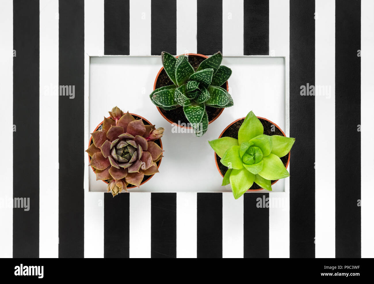 Green Succulent Plants On Black And White Striped Background