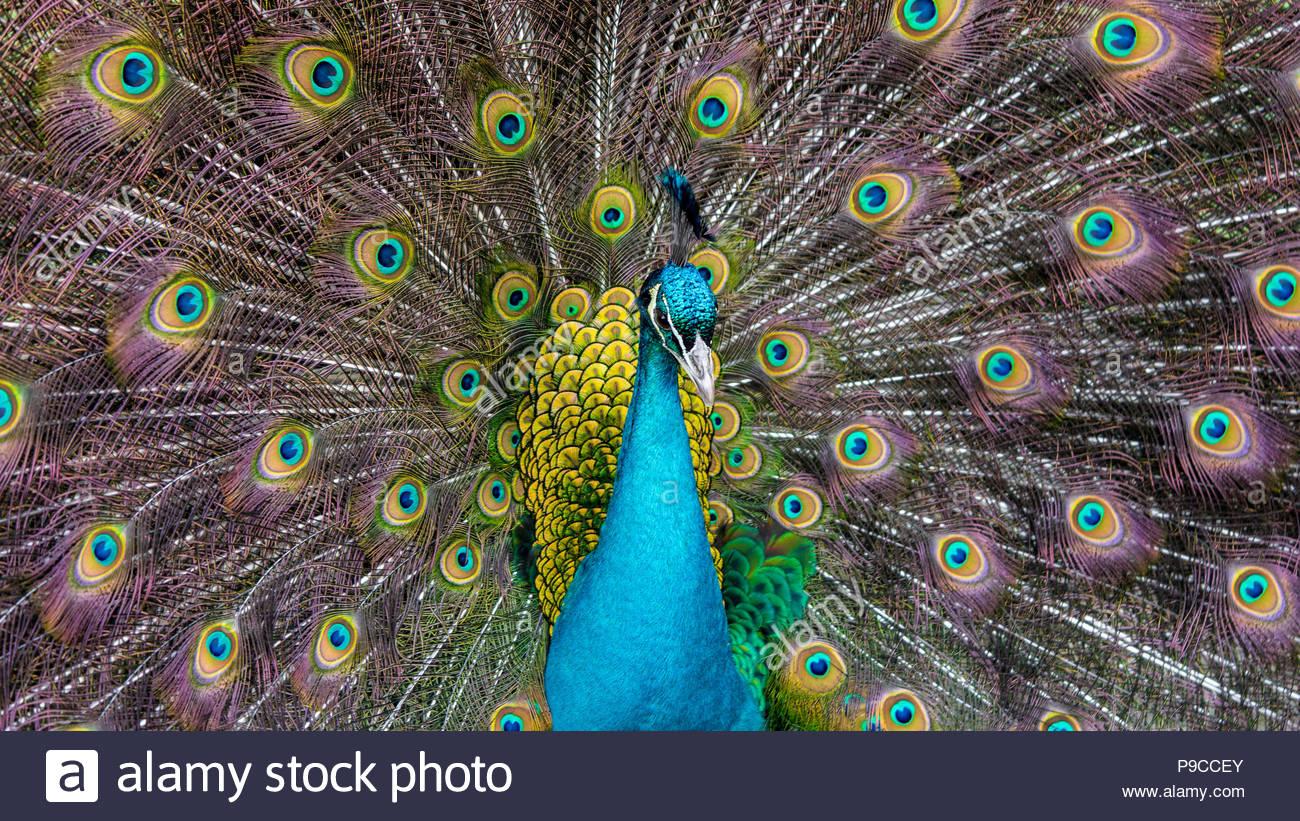 Close up, headshoot, of a beautiful Peafowl. - Stock Image