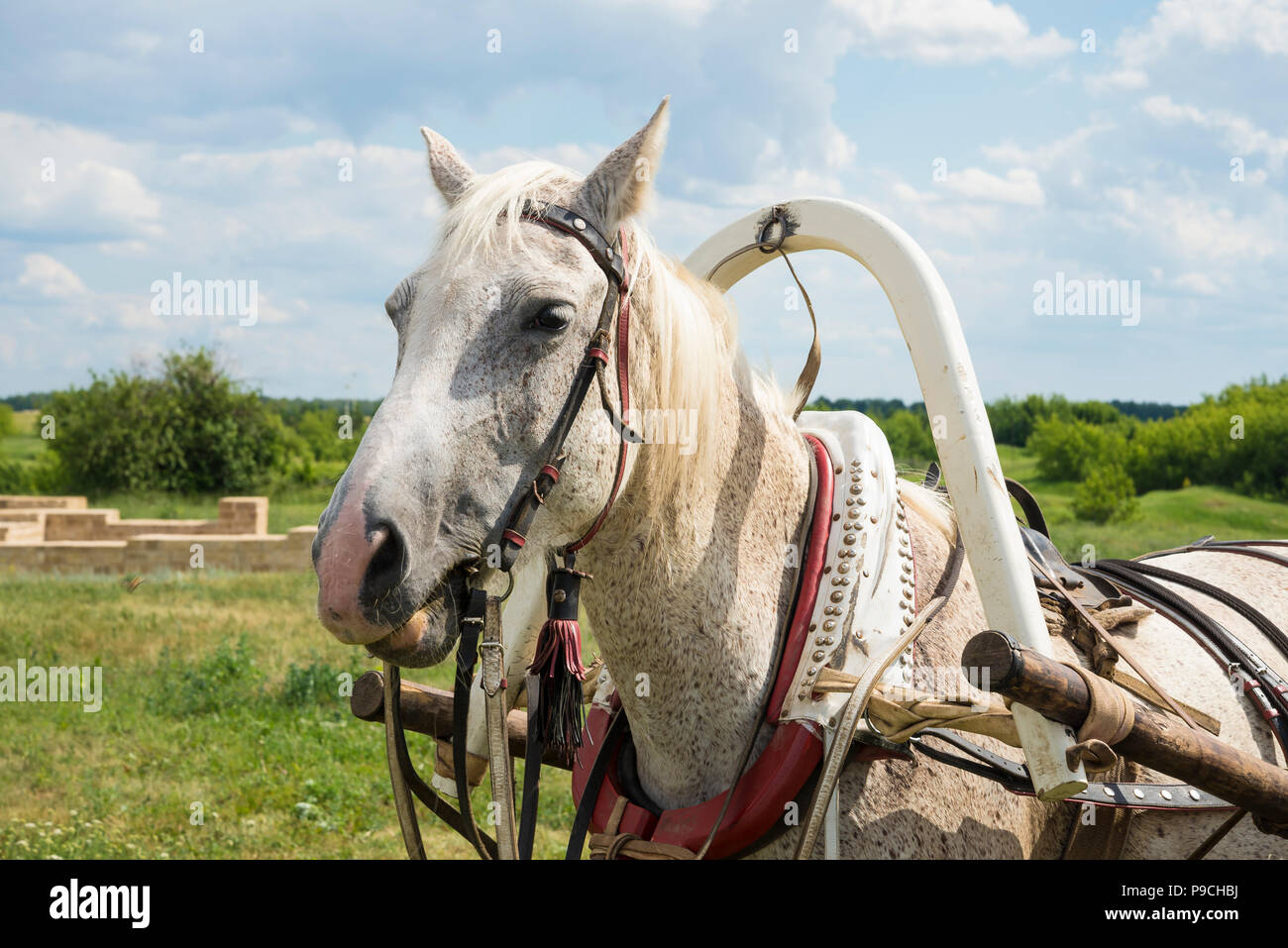 White horse close-up - Stock Image