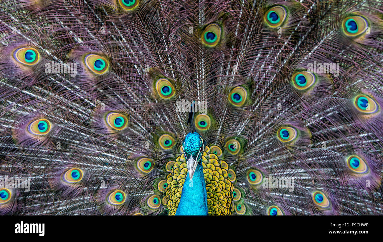 Closeup of a beautiful female Indian blue peafowl. Pavo Cristatus peahen bird, perched on a fence in a green forest. Stock Photo