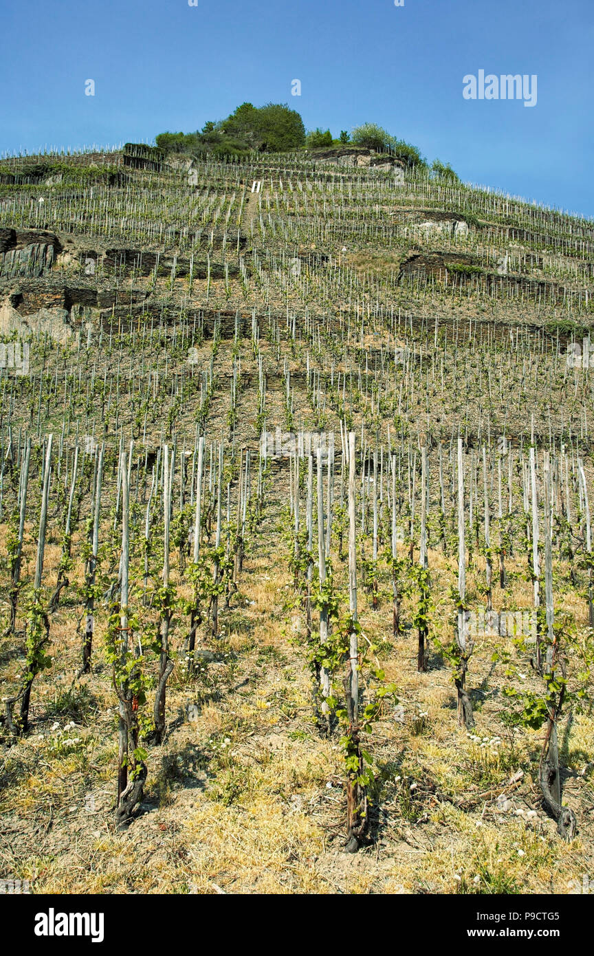 Young vines on a steep hillside vineyard in spring on the banks of the Rhine in the Upper Middle Rhine Valley, Germany, Europe - Stock Image