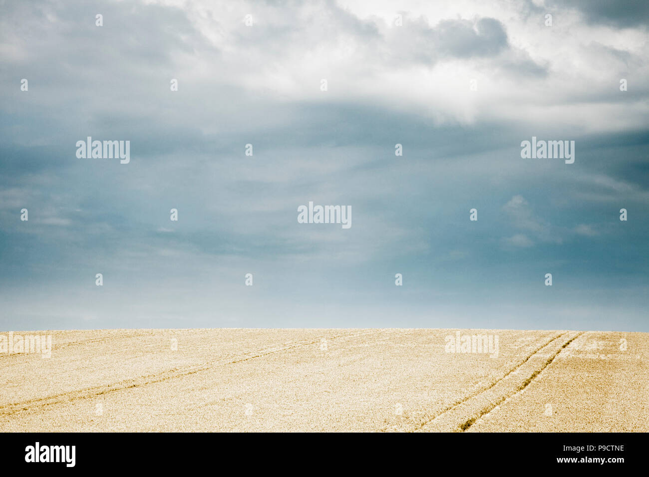 Ripe golden wheat field under a stormy sky, France, Europe - Stock Image