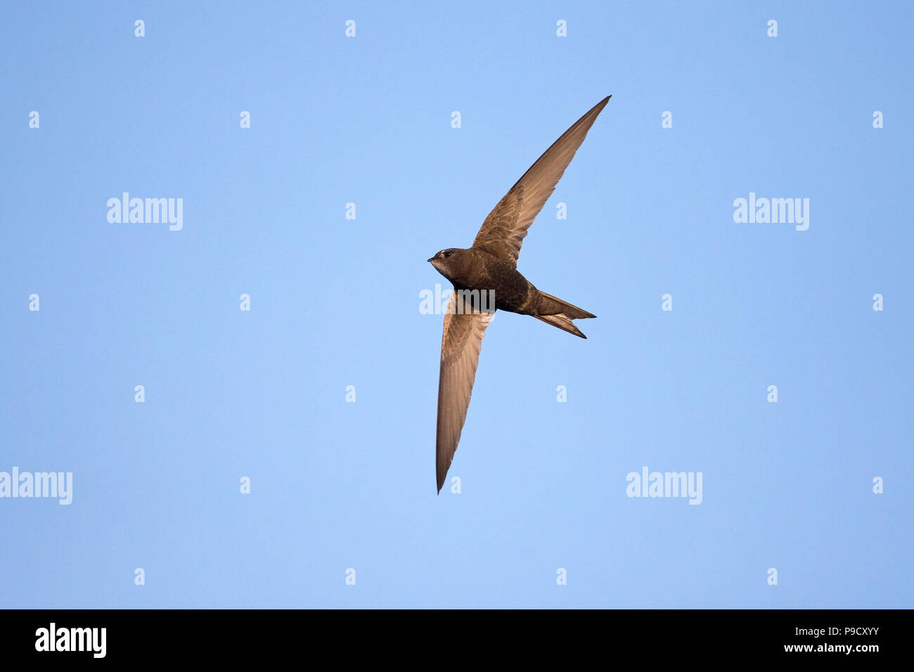 Common Swift (Apus apus) - Stock Image