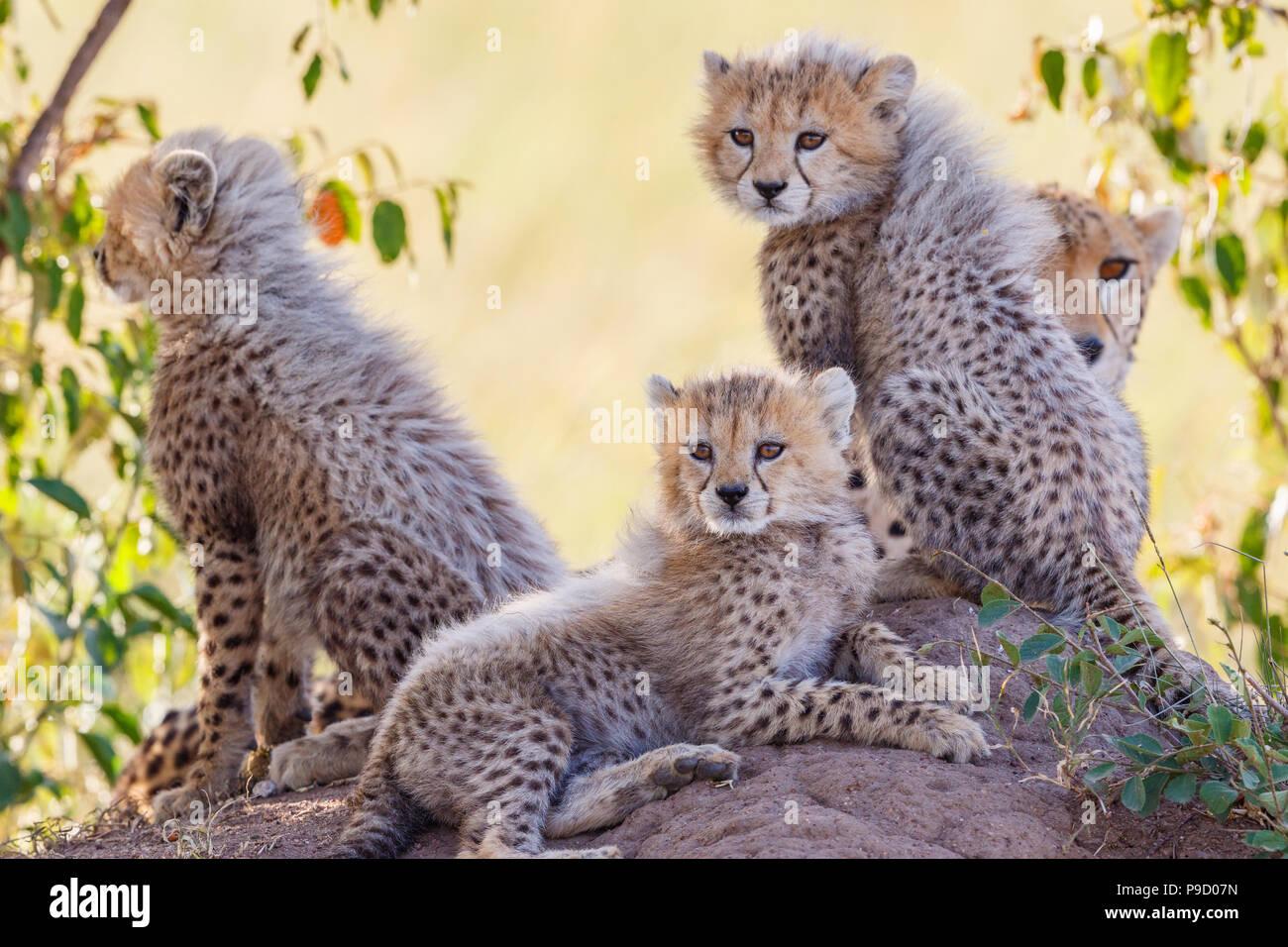 Curious cheetah cubs in the bush shadows - Stock Image