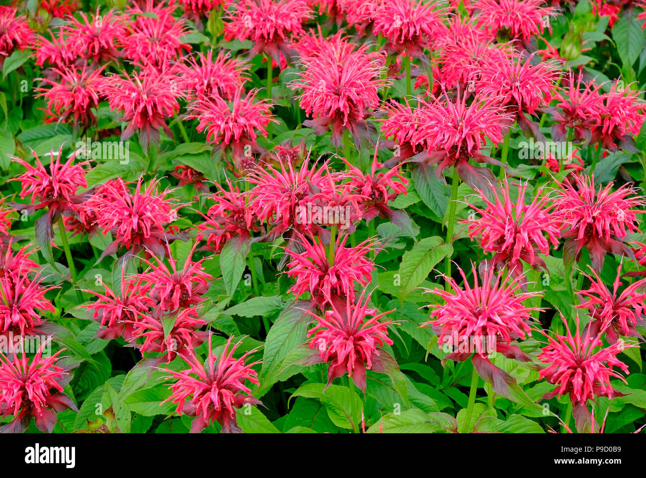 flowering red bergamot plant in english garden Stock Photo