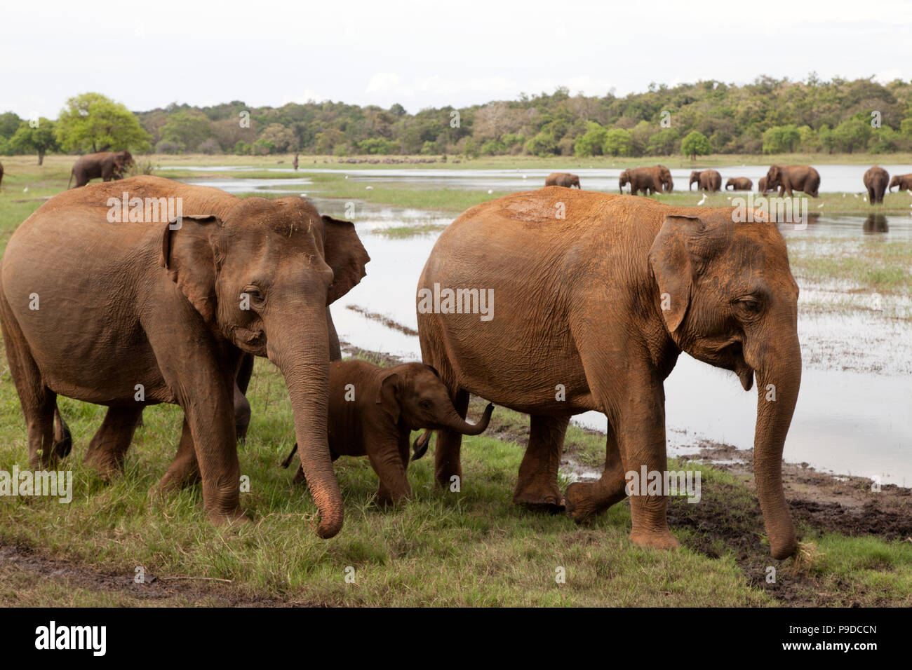 Asian Elephants (Elephas maximus) interact and socialise while feeding by the reservoir at in Minneriya National Park in Sri Lanka - Stock Image