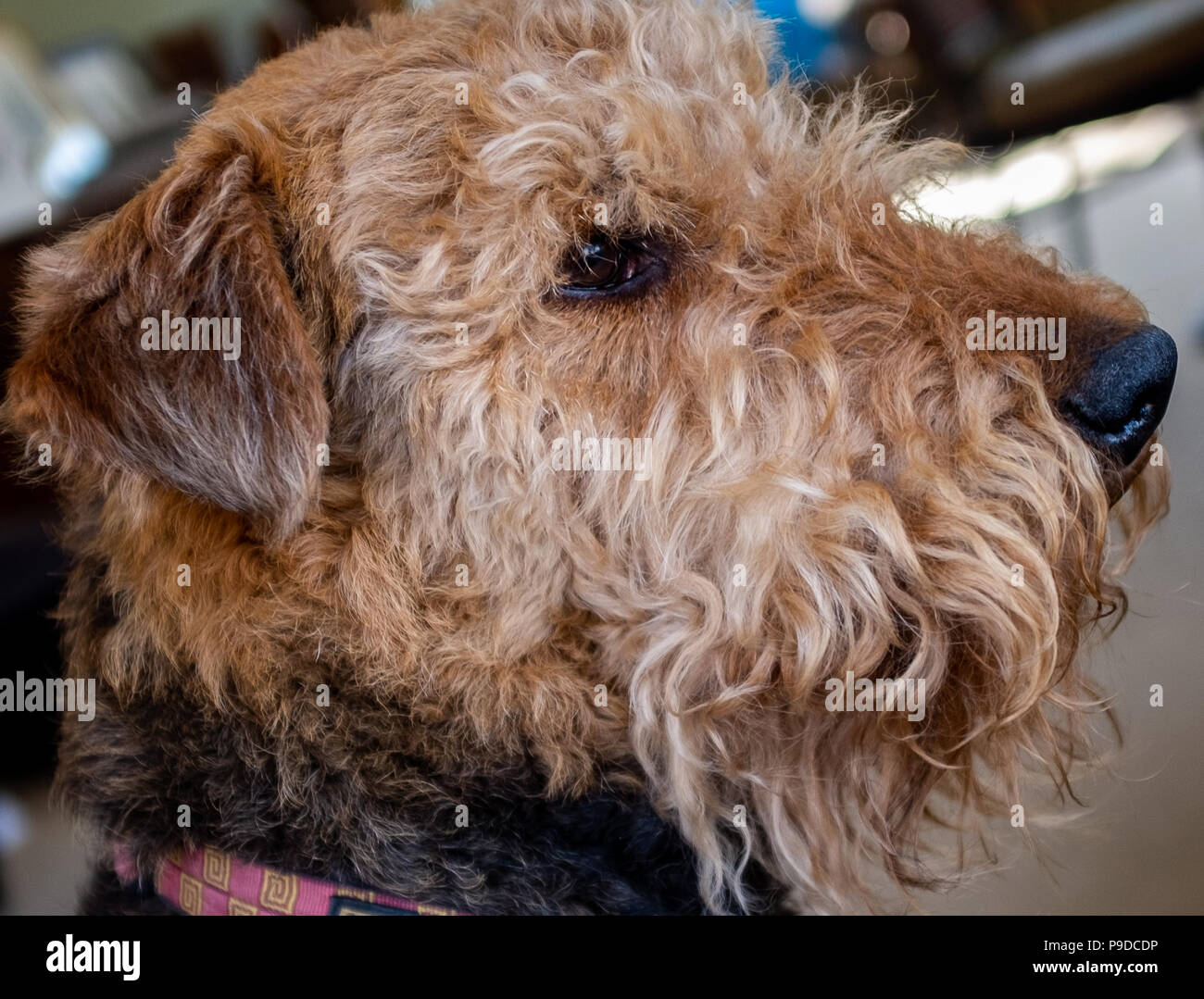 Airedale Terrier profile - Stock Image