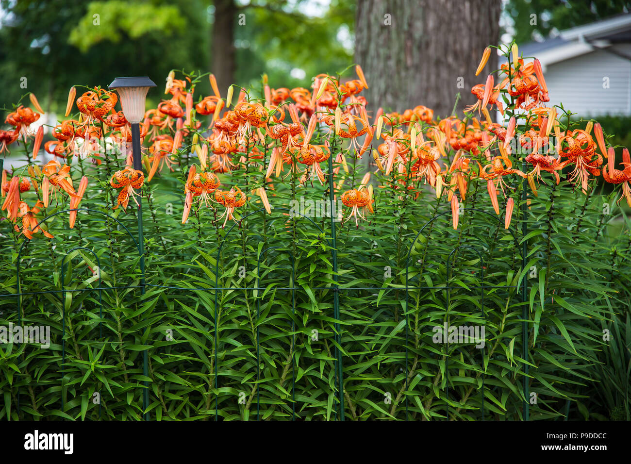 A Close Up Of The Tiger Lily Garden Stock Photo 212352236 Alamy